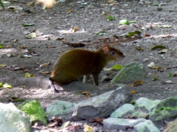 Agouti - (big tailess rodent) Playa del Carmen