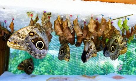 Butterflies hatching - Ometepe