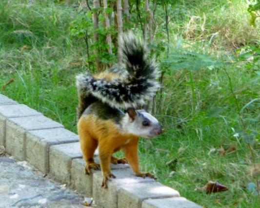 Varigated squirrel - Tamarindo