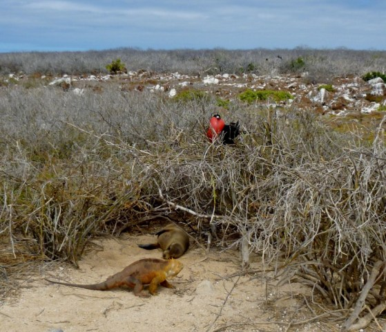 An iguana, a magnificent frigate and sea lion - Galapagos Islands