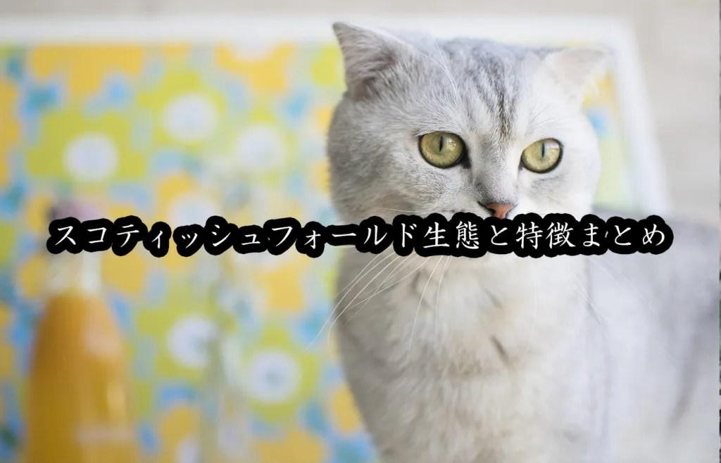スコティッシュフォールドの性格や寿命や価格、特徴的な垂れ耳を解説【猫図鑑】