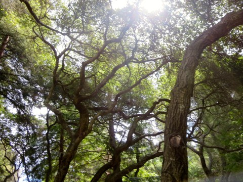Live oak: UC Santa Cruz