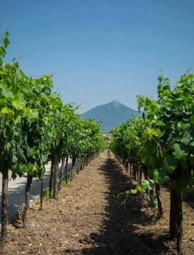 Venditti Vineyard Italy