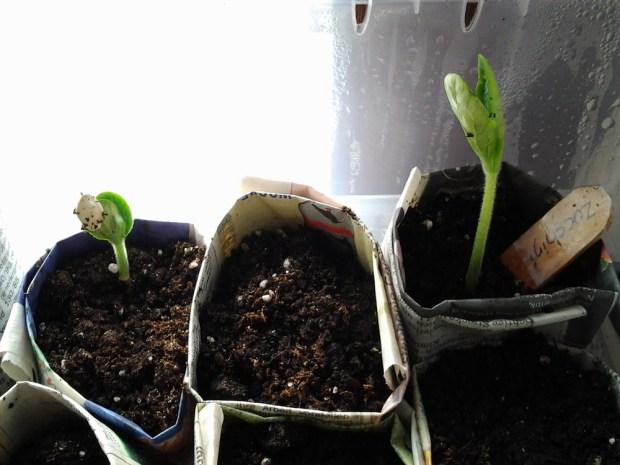 Zucchini auf der Fensterbank vorziehen