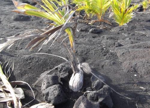 Coconut Germinated