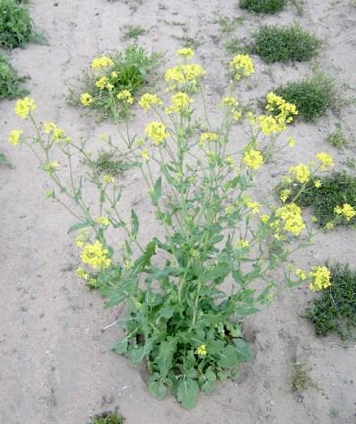 Wild Mustard 1