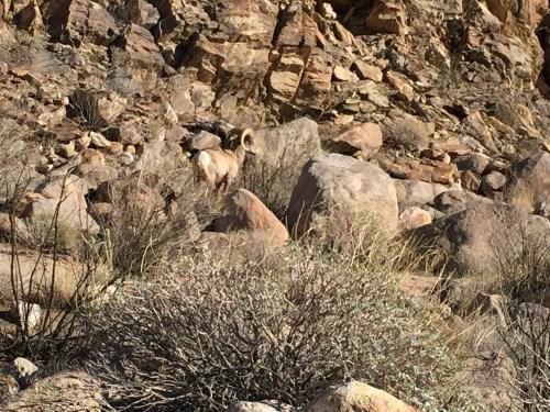 bighorn-sheep
