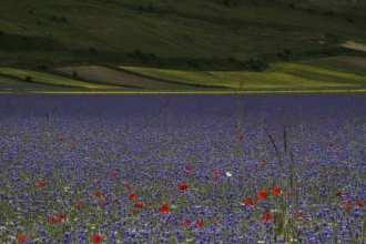 Fiori azzurri, viola e rossi a Castelluccio