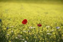 papaveri su sfondo giallo, la fioritura