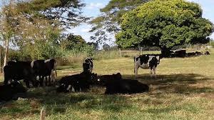 sombra no pasto