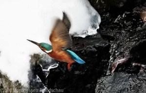 Eisvogel im Bergpark