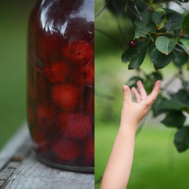 Preserved cherries. Picking cherries.