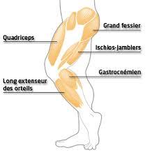 Principaux muscles des membres inférieurs en marche nordique