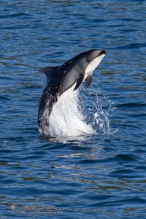 White-sided Dolphin