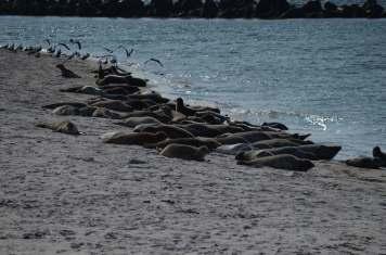 Seehunde und Kegelrobben fühlen sich auf der Helgoländer Düne heimisch. Und zeigen nur wenig Scheu vor Menschen.