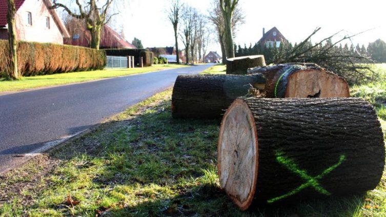 Stadt fällt fünf Bäume an der Lönsstraße - An zwei Stellen sind bereits Linden entlang der Lönsstraße gefällt worden. Die Bäume waren nicht mehr standssicher. Drei weitere Linden sollen in den kommenden Tagen dort noch gefällt werden. Foto: Stadt Papenburg