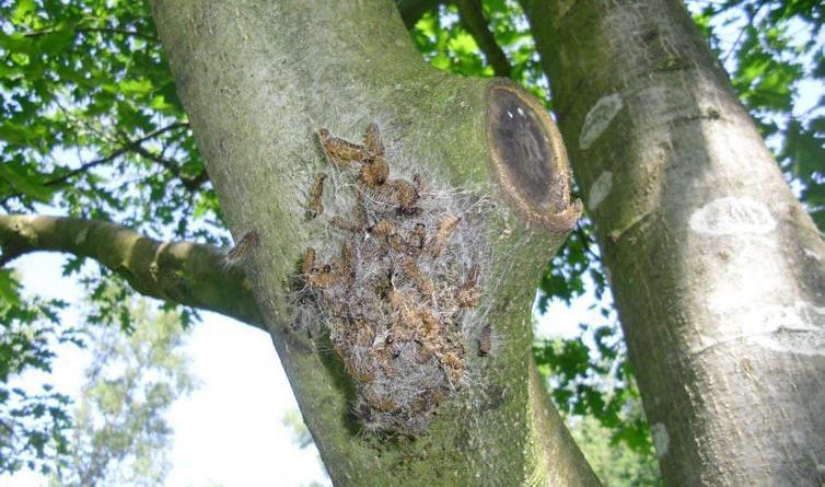 Eichenprozessionsspinner in Lingen entdeckt -Stadt warnt: Berührungen meiden und Nester der giftigen Raupen melden - Wie bereits in den vergangenen Jahren sind auch in diesem Jahr erste Nester des Eichenprozessionsspinners in Lingen entdeckt worden. Die Stadt warnt davor, die Raupen, die über kleine Gifthaare verfügen, zu berühren. Befallene Bäume können direkt bei der Stadt gemeldet werden. Foto: Stadt Lingen