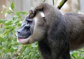 """Erster Internationaler """"Tag des Drills"""" - Ein Plädoyer für den Schutz der vergessenen Affen Afrikas - Foto: Franz Frieling"""