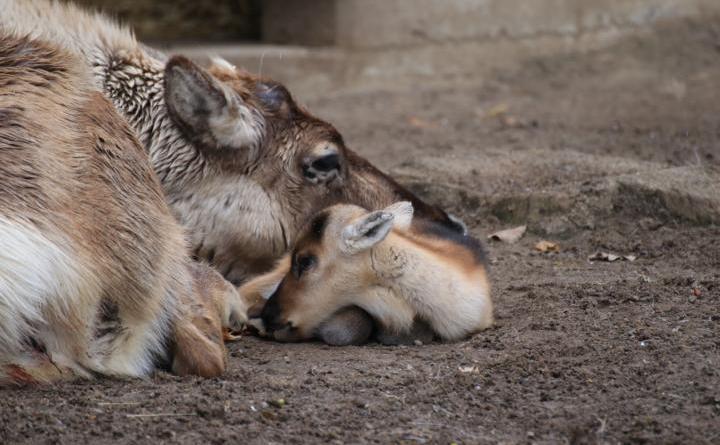 Bei den Rentieren im Zoo Osnabrück lassen sich derzeit zwei kleine Kälber beobachten. Mit flauschigem Fell und manchmal noch etwas wackeligen Schritten erkunden sie vorsichtig die Welt. Dabei verlassen sie aber kaum jemals die Seite ihrer Mutter, an der sie sich am sichersten fühlen. - Foto: Zoo Osnabrück