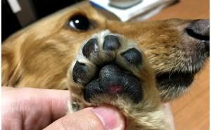 肉球が剥がれて血が出た時の対処法。犬の足の裏を守り舐めるのや病気を防ぎ散歩もさせて元気で長生き。