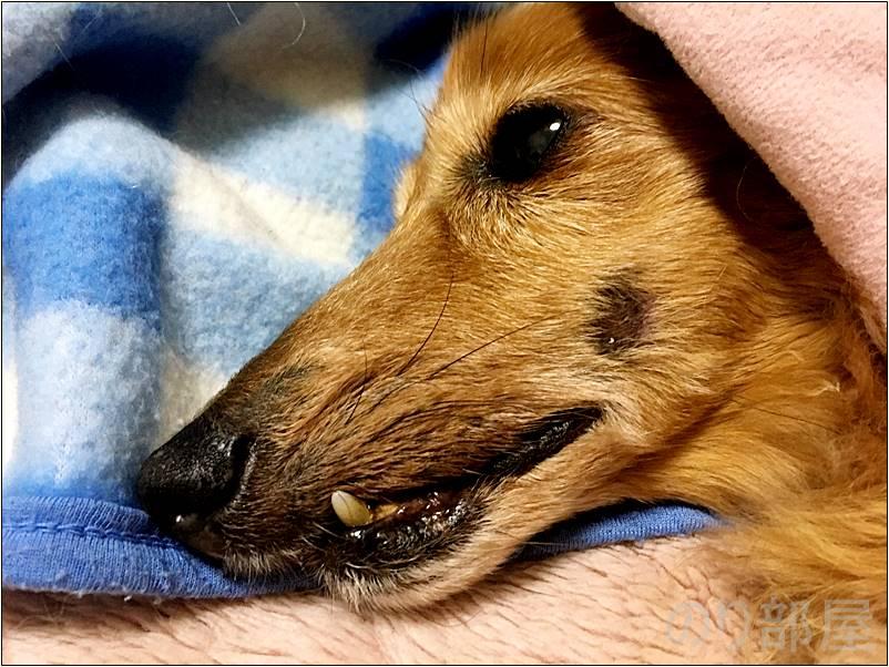 犬の歯周病を放置してほっぺに黒いアザができる【2018年 4月7日】【実体験】犬の歯周病を放置して「ほっぺに穴」が空いた!手術をし治療しました。 歯磨きで予防や簡単なケアのオススメ方法!