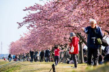 千葉県市川市の河津桜のおすすめスポット紹介