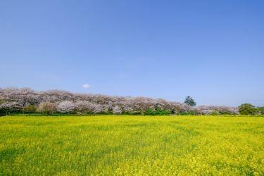 埼玉の幸手権現堂で桜と菜の花を楽しむ【富士フイルム】