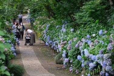 千葉のアジサイ寺 本土寺で望遠レンズとクラシックネガで撮影