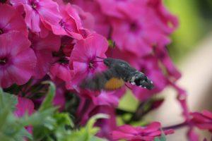 Heimische Schmetterlinge – ein Taubenschwänzchen