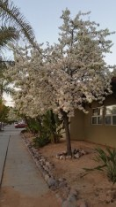 White Cherry Blossom Trees in bloom in Normal Heights