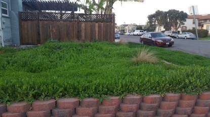 overgrown clovers and deep green grass in a Normal Heights Yard.