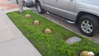 odd cacti grow up around grass in Normal Heights