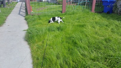 black and white mutt scampering through the tall green Normal Heights Grass