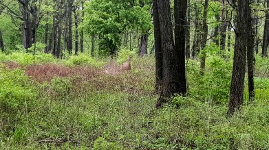 This deer's coloring is great camouflage
