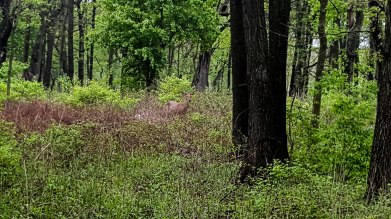 Another deer having a snack in this clearing