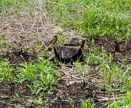 Robin on a short stump