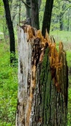 American Tree Sparrow on a tree stump