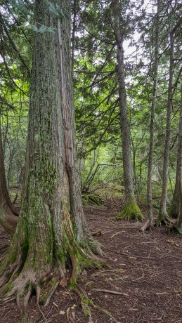 Tall tree trunks accented with green lichen and moss along Trail of the Cedars in Glacier National Park