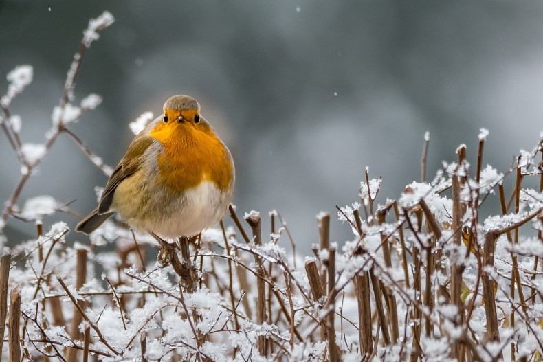 A robin sits on a snow covered branch and looks into the camera