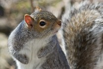 aws-128-gray-squirrel-_mg_7697