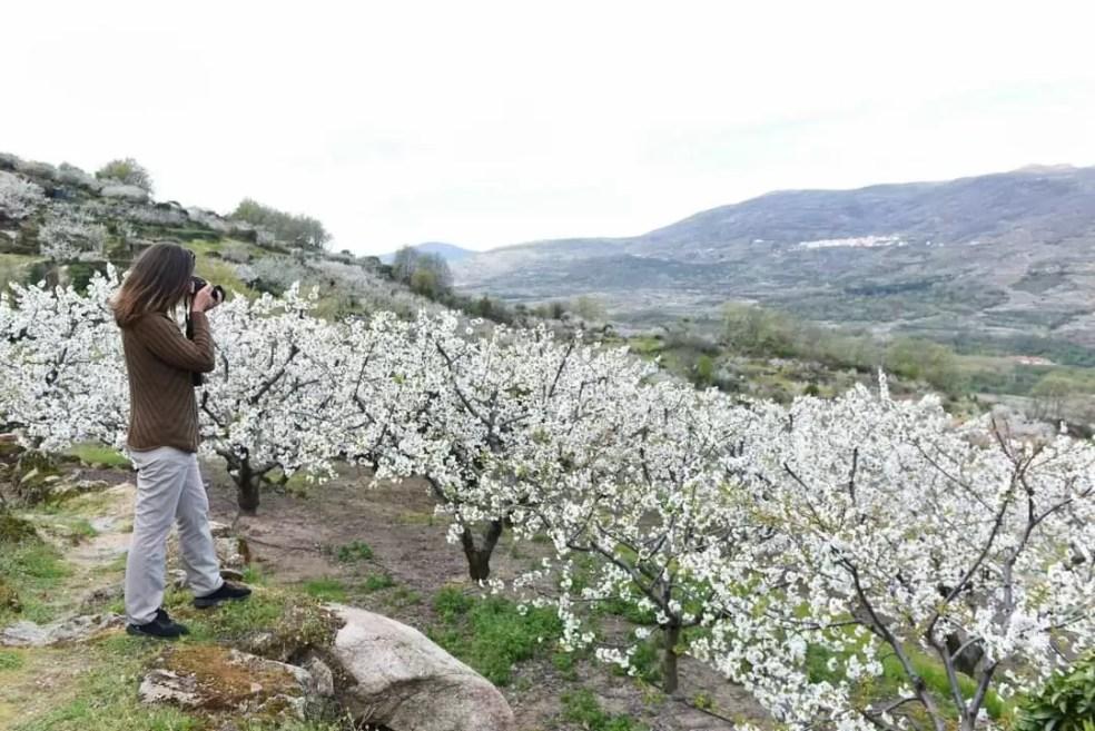 Comienza el cerezo en flor