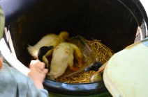 baby ducks were one of the more unusual auction items