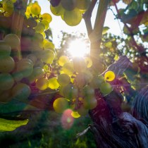 Weekend Update Sunlight Through Grapes