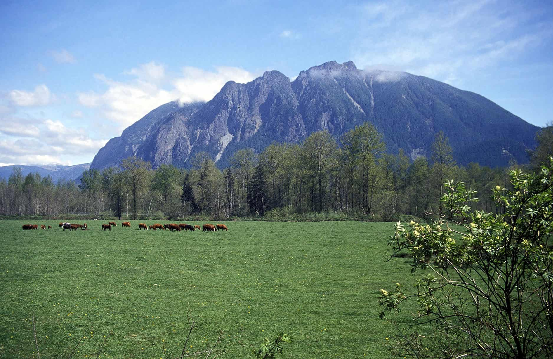 Mount Si and cows at Meadowbrook Farm
