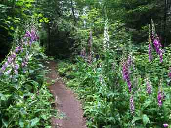 Beautiful Foxgloves along Upward Mobility Trail