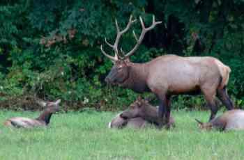 elk herd up close
