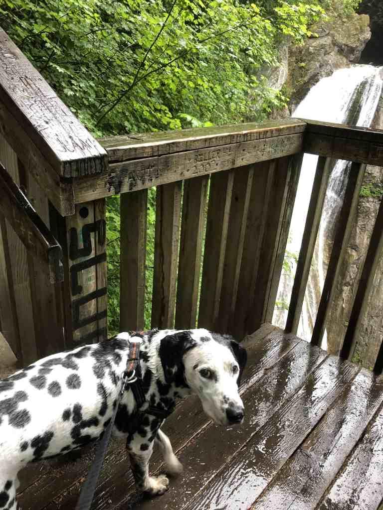 Dalmatian enjoying view of Twin Falls Washington