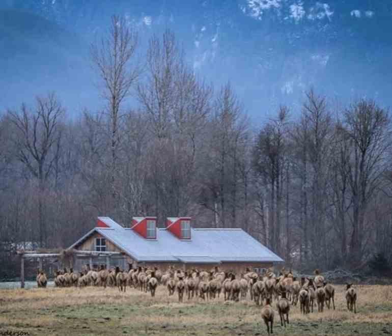 Elk Herd at Meadowbrook Farm