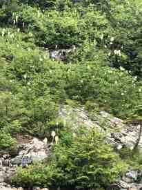 Field of Beargrass near creek entering Snow Lake