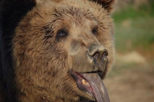 Stivi, Kosovar bear